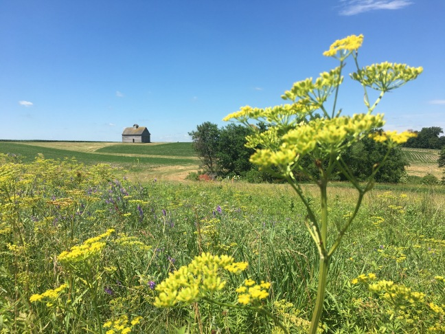 Photograph of a Midwestern scene, a field of wildflowers with a yellow flower in the foreground and an old wooden building on a ridge in the distance